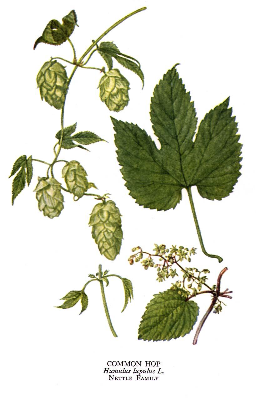 Planche botanique du houblon